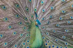 Beautiful peacock with feathers out. Male Peacock feathering to show the beautiful of the female Royalty Free Stock Photos