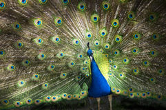 Male Peacock Feathers Full Plumage. Male peacock with colorful feathers and full plumage on display. This is a real photograph, it's an amazing display Stock Photos