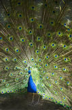 Male Peacock Feathers Full Plumage Royalty Free Stock Images