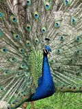 Male Peacock with feathers spread out stock photo