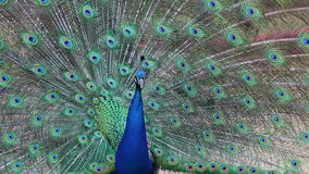 Male Peacock With Full Tail Up Dancing stock video footage