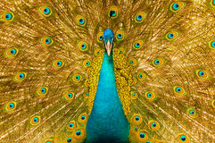 Male peacock has colorful feathers Stock Image