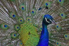 Male peacock with his opened feathers. Males peacock with his opened feathers called coverts as part of a courtship ritual to attract a mate Stock Image