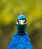 Male Peacock Looking Forward Stock Photo