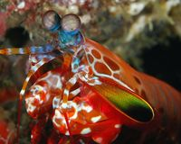 Male Peacock Mantis Shrimp Royalty Free Stock Photos
