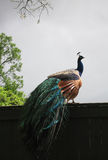 Peacock phasianidae with Multicolored Feathers Stock Image