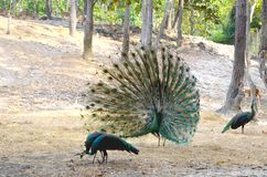 A male peacock with an open tail flaunts in front of the females stock photo