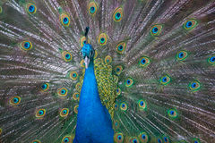 Male peacock with open tail stock photography