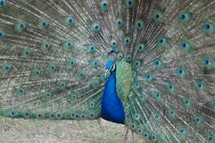 Male peacock with open train royalty free stock photos