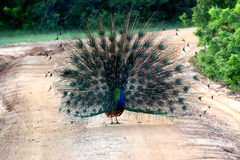 Male peacock is opening its tail Stock Photography