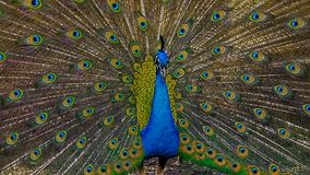 Male peacock opens in colorful plumage and feathers Royalty Free Stock Images