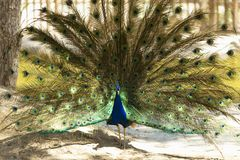 Male peacock with outstretched wings in his bridal courtship. royalty free stock images