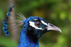 Free Male Peacock (Pavo Cristatus) Stock Photos - 12347203