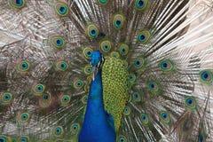 Male Peacock (Pavo Cristatus) Stock Photography
