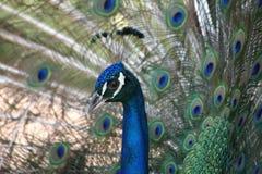 Male Peacock (Pavo Cristatus) Royalty Free Stock Image