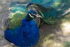 Male peacock, Pavo cristatus Royalty Free Stock Photography