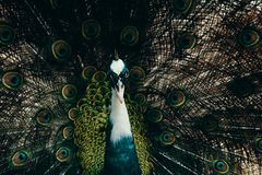Male Peacock Photography stock image