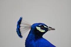 Male Peacock portrait Stock Photo