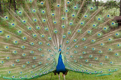 Male Peacock Presenting up close Royalty Free Stock Photo