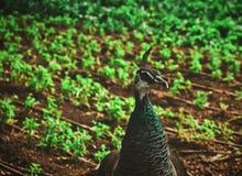 A male peacock in a public garden. stock photo