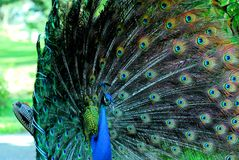 Male peacock show Stock Images