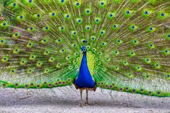 Male peacock showing off his magnificent plumage Royalty Free Stock Photos