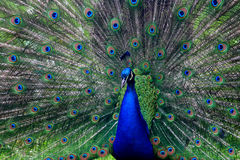 Male peacock showing plumage Stock Photo