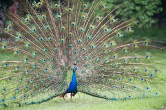 Male peacock showing of it's fan. Front view image stock image