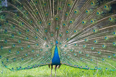 Male peacock showing of it's fan. Front view image Stock Images