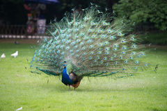 Male peacock showing of it's fan. Front view image Royalty Free Stock Image