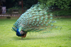 Male peacock showing of it's fan. Front view image royalty free stock photos