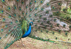 Male peacock showing spread tail feathers Stock Images