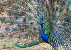 Male peacock showing spread tail feathers Royalty Free Stock Images