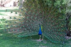 Beautiful Male Peacock in the Wild royalty free stock photo