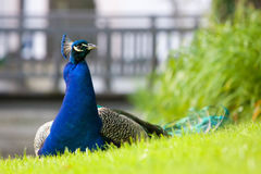 Male peacock sitting Stock Photography