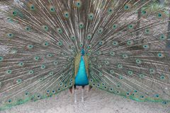 Male peacock is speading and showing Feather Tail for Female precock royalty free stock image