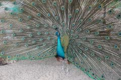 Male peacock is speading and showing Feather Tail for Female precock royalty free stock images