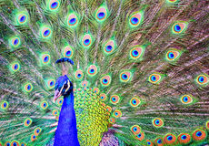 Male peacock with a spread out plumage tail Royalty Free Stock Images