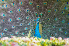 The male peacock spread tail-feathers Stock Photos