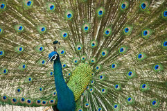 Male peacock spread tail-feathers. Stock Photography