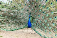 Male peacock spreading tail feathers.  Stock Photo