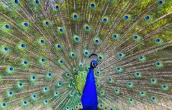 Male peacock spreading tail feathers.  Royalty Free Stock Images