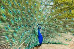 Male peacock spreading tail feathers.  Royalty Free Stock Photography