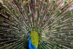 A male peacock spreads its feathers. An African Peacock stock images