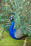Male peacock with tail feathers spread Stock Photo
