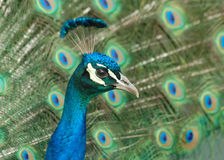 Male Peacock and tail Stock Photo