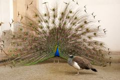 Male peacock tail spread tail-feathers Royalty Free Stock Image
