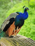 Male peacock on a trunk Stock Photo