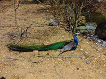 Male Peacock in Vivid Colors. Spring 2018; Cohanzick Zoo, Bridgeton, New Jersey Royalty Free Stock Photography
