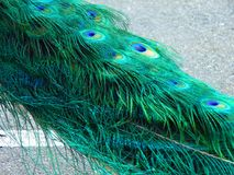 Male Peacock in Vivid Colors. Spring 2018; Cohanzick Zoo, Bridgeton, New Jersey Stock Photography